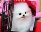 中山哪里有卖茶杯博美幼犬价格多少纯种博美多少钱一只