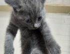 出售纯家养英短小猫