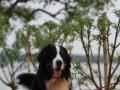 伯恩山犬种公对外借配个人家养高端公狗配种