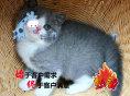 纯种健康的英美短毛猫出售自繁自育 疫苗做齐