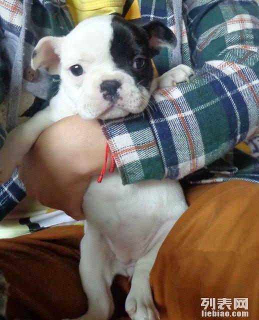 家有纯种小斗牛幼犬一窝找真心喜欢的朋友领养 狗狗可以吃米饭了