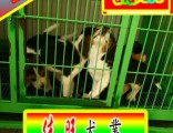 北京比格犬质量三包狗场直销比格犬诚信交易