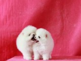 家养一窝纯种博美犬可以签协议 来家里看狗父母