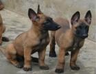 精品纯种 比利时马犬 爆发力强易训练