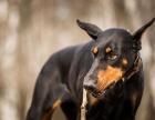 杜宾犬纯种家养繁殖杜宾狗出售精品家养活体宠物狗