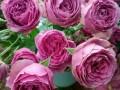 玫瑰花种苗哪里的比较好
