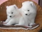 重庆出售精品萨摩耶犬,疫苗驱虫已做,可