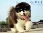 纯种阿拉斯加幼犬 巨型大骨架熊版阿拉斯加雪橇犬活体宠物狗狗