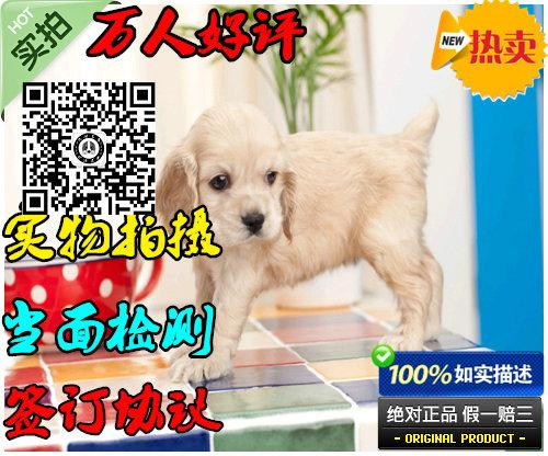 可卡幼犬出售 纯种大耳朵健康保证上门挑