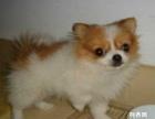 上海哪里热卖超低价 小蝴蝶犬包健康 包退换三个月签协议