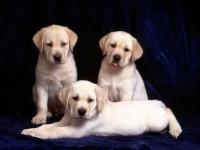 聪明活泼拉布拉多犬出售血统纯正保健康专业繁殖出售