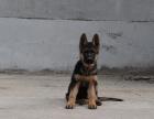 中国专业繁殖双血统德国牧羊犬黑背犬舍 可以上门挑选