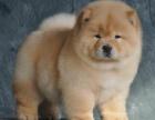 重庆纯种松狮价格 重庆哪里能买到纯种松狮犬