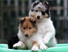 自家大狗生了一窝苏格兰牧羊犬可以上门看狗父母