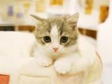 大同性格活泼黏人 超甜美蓝猫宝宝出售 健康无病无癣
