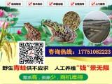 青蛙养殖基地批发青蛙苗 黑斑青蛙种苗 成活率高个头大包回收