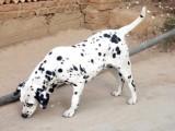纯种健康大麦町幼犬公母都有三针做齐 签订质保协议