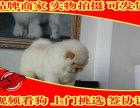纯种肉嘴松狮幼犬多窝出售公母均有 签保障协议
