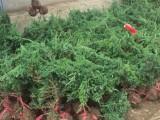 西安爬地柏价格 水蜡 金丝垂柳价格 荷兰菊
