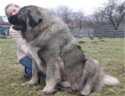 高加索猛犬 高加索多大 高加索多少钱 俄系高加索