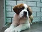 苏州那里有圣伯纳犬卖 苏州圣伯纳犬价格 苏州圣伯纳犬多少钱