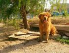 **精品枫叶红金毛犬出售或对外配种