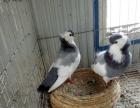 出售元宝鸽、毛领鸽、仙女鸽、天使鸽、摩登娜鸽、白羽王鸽