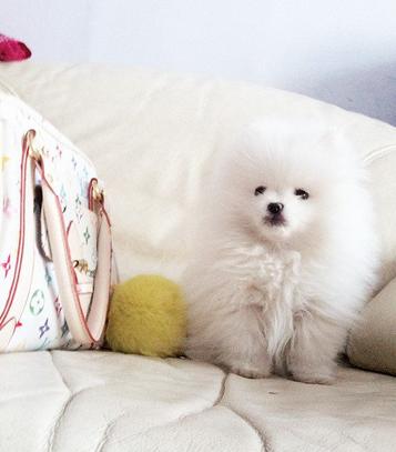 哈尔滨哪里有博美犬出售 纯种健康的博美犬哪里有多少钱