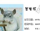 家养宠龙猫,银斑DD,已满3个月可接走,限宁波同城