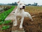 郭楞自治州阿根廷双血统杜高犬价格