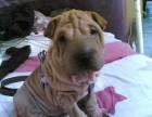 郑州哪有沙皮犬卖 郑州沙皮犬价格 郑州沙皮犬多少钱