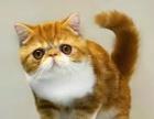 无锡加菲猫多少钱