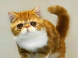出售纯种家养加菲猫,美短,波斯猫,英短蓝猫1