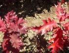 园林正宗欧洲红栎与进口美国红枫的对比区分