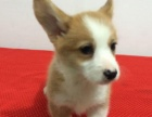 品质第一 纯种柯基幼犬 终身质保 签活体协议