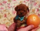 出售纯种泰迪犬幼犬茶杯幼犬棕色超小体玩具型贵宾犬活体宠物狗狗