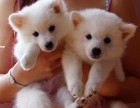 西安那里有日本尖嘴犬卖 西安日本尖嘴犬价格 日本尖嘴犬多少钱