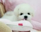 韩系精品泰迪 小家伙可爱极了,求抱走