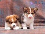 繁殖 柯基幼犬 威尔士柯基犬 英国女王最爱