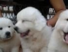 高品质大白熊幼崽出售 CKU认证犬业 品质保证