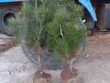 山西白皮松基地 供应营养钵白皮松树苗