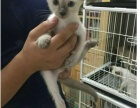 暹罗美短蓝猫布偶加菲孟加拉豹猫蓝白渐层折耳出售
