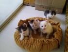 自家养的5只可爱猫宝宝满月了,现在接受预定了!