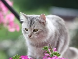 河源正八蓝白 五粉蓝白宠物猫出售 猫咪包纯包健康