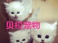 【贝拉宠物】最低出售蓝猫加菲猫暹罗猫金吉拉猫渐层