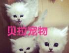 【贝拉宠物】精品美短加菲猫银渐层蓝猫折耳猫