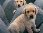 出售拉布拉多导盲犬,头大较宽,毛色好,品相佳包健康