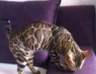 纯种孟加拉豹猫——包养活【无病无癣】——签订协议书
