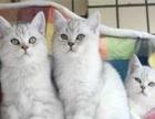 特价猫仅900 渐层 蓝猫 虎斑 加白等 同城送选