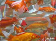 赤峰市各种鱼苗夏花低价供应 质优价廉 实惠多多